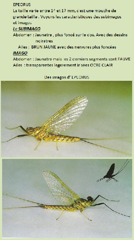 epeorus subimago imago
